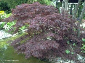 super roter japanischer schlitzahorn 50cm pflanzen. Black Bedroom Furniture Sets. Home Design Ideas
