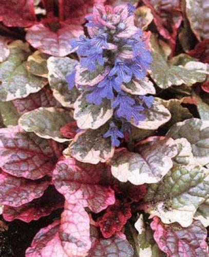burgunderg nsel bunte bl tter blaue bl ten pflanzen. Black Bedroom Furniture Sets. Home Design Ideas