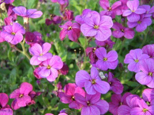 Blaukissen rosa aubrieta frühlingszauber steingarten