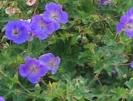 Storchschnabel / Geranium
