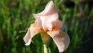 Schwertlilie / Iris