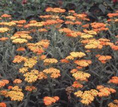Edelschafgarbe in orange robust und wüchsig
