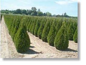 Thuja Smaragd, immergrüne Heckenpflanze