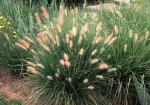 4 kleine Gräser (Pflanzen) für kleine Gärten