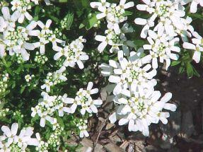 6 Stauden (Pflanzen) für einen weißen Garten