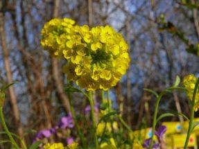 6 Steingartenstauden (kräftige Pflanzen)
