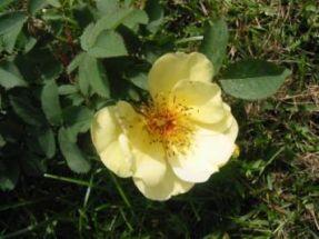 Bibernell - Rose  zartgelb Rosa pimpinellifolia