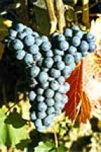 Blaue Tafel / Weintraube Regent