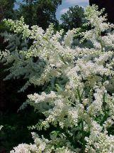 Brautschleier Astilbe weiß Pflanze
