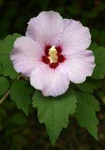 Gartenhibiskus weiß mit rotem Auge, Red Heart 40-60 cm