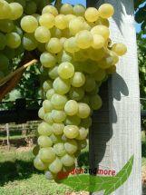 gelbe Tafel / Wein Traube Phoenix lecker und robust frosthart