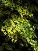 grünblättriger Japanischer Zwergahorn elegant60-80 cm