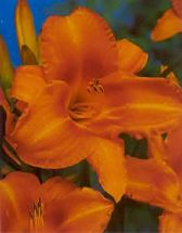 Hemerocallis Mauna Loa Taglilie in brennedem Orange
