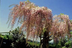 1 Blauregen in rosa - Glyzinie 150-200 cm