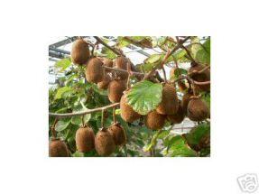 Kiwi - Pflanze Jenny, echt selbstfruchtend