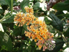 Sommerflieder gelbblühend Sungold Schmetterlingsmagnet