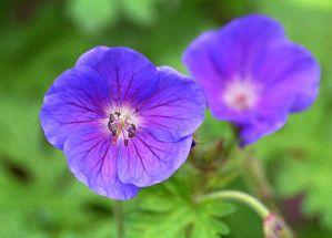 Storchschnabel Gravetye viele große violettblaue Blüten