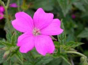 Storchschnabel Rose Claire kleine rosa Blüten in Mengen