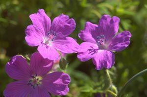 Storchschnabel Sirak, große Blüte in lavendelrosa toll!