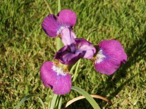 Sumpfschwertlilie \Ewen\ mit gigantischer Farbe