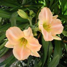 Taglilie - Hemerocallis Aprikose im Staudenbeet