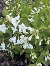weißblühende Weigela, Zierstrauch, 2 mal blühend