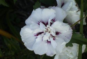 weißer Gartenhibiskus, Speciosus, gefüllt, 40-60 cm