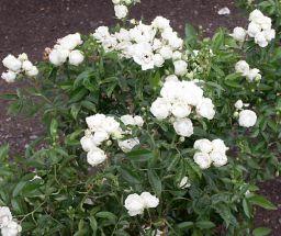 Rose White Dorothy Perkins