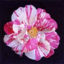 Rose Mundi ( gallica Versicolor)