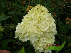 Hortensie Limelight (S) reich- und lang blühend 60-80 cm hoch