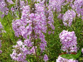 Wiesen Phlox Natascha wilde Flammenblume rosa-weiß