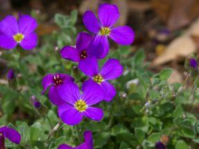 Blaukissen, violett Aubrieta Kitty Steingartenstaude