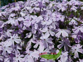 Teppichphlox hellblau Phlox subulata Bonita