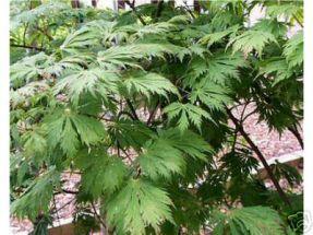 Eisenhutblättriger Ahorn -  Acer aconitifolium
