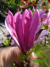 Purpurmagnolie Magnolia Susan kleinwüchsig duftend