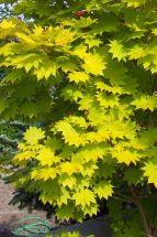 Japanischer Goldahorn Acer shiraserwanum Aureum