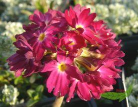 rosa Kugelprimel - eine runde Sache für den Frühling