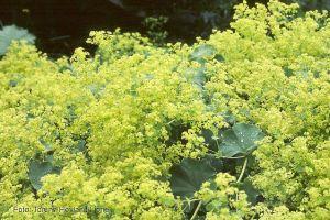 3 Frauenmantel, Zauberpflanzen für den faulen Gärtner