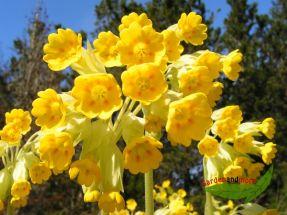 Apothekerprimel Schlüsselblume goldgelb Frühlingsblüher