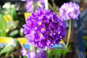 blaue Kugelprimel - eine runde Sache für den Frühling