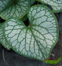 Brunnera Jack Frost, Kaukasusvergissmeinicht weiß-grün