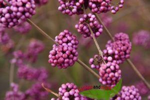 Liebesperlenstrauch Schönfrucht Callicarpa