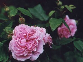Rose Jaques Cartier stark duftend