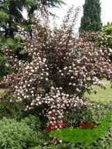 Teufelsstrauch Physocarpus Diabolo (R)