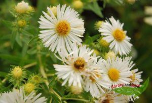 hohe Herbstaster Herbstschnee, weiß dankbarer Blüher