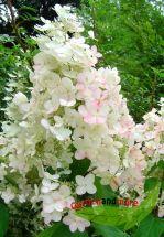 Rispen Hortensie Unique weiß mit rosa blüht lange