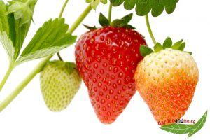 3 öftertragende Erdbeere Korona Früchte d. ganzen Sommer