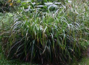 Riesensegge hohes Ziergras für frische, feuchte Böden