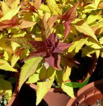 Sommerspiere Goldflame goldoranges Blatt und pink Blüte