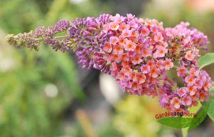 Sommerflieder, Buddleia Flower-Power zweifarbig